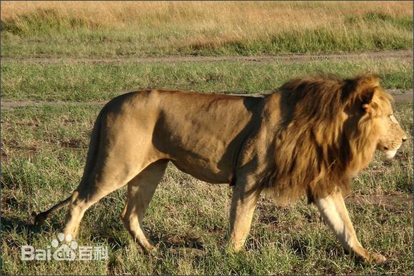 鬼獒和藏獒打架图 藏獒和鬼獒图片 藏獒pk狮子 藏獒pk老虎高清图片