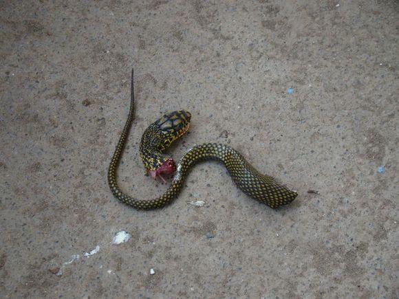 做梦梦到蛇是什么意思_女人做梦梦到蛇,把蛇打死了它又活了?是怎么回事啊?