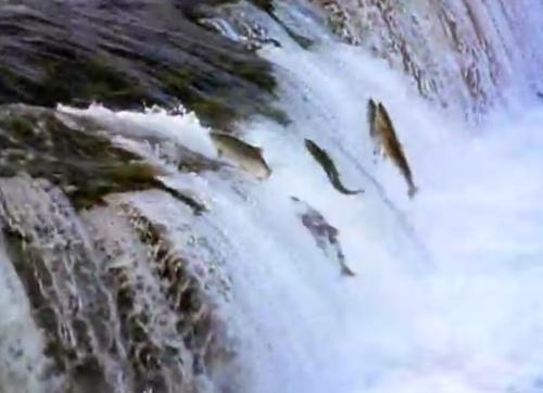 鱼为什么逆水而行,为什么要到上游去,小时候它是怎么来到下游的?图片