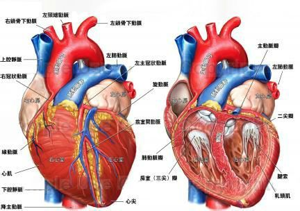 心脏在左边 心脏在左边什么意思 为什么心脏在左边 心脏左边疼图片