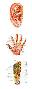 分布图.人体的五脏六腑、各个器官的穴位在耳朵上的分布已经高清图片