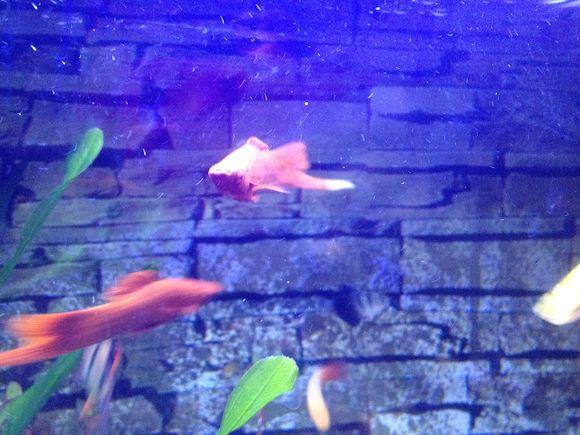 公红箭尾巴变白了,怎么办 热带鱼吧 百度贴吧