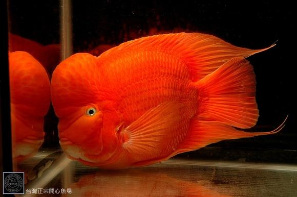 Flowerhorn wie steht ihr zu diesen Tieren  Aquarium Forum