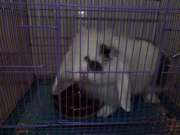 转贴:广州海珠区同城8月大垂耳兔转让--限自取,符合条件的来高清图片
