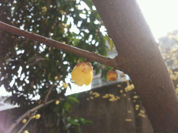 油菜花的春天 .花开了图片