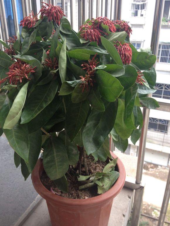 我有一盆花刚买不久,好蔫儿,初次养花连它的名字都不知道.图片