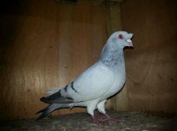 高飞鸽 观赏鸽 美丽图片图片
