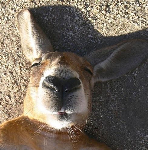 澳洲袋鼠神马的最销魂了!图片