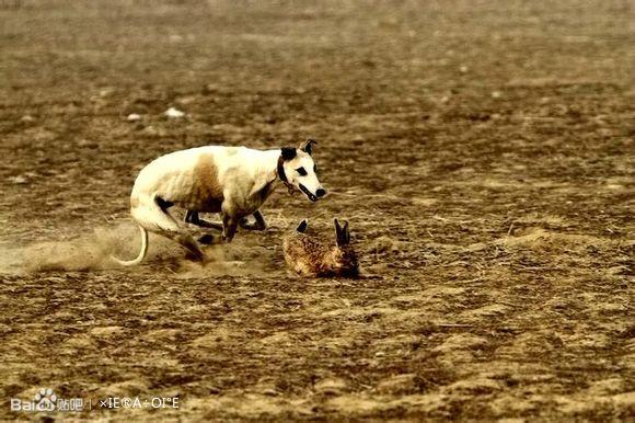 高陵狗撵兔子之十六