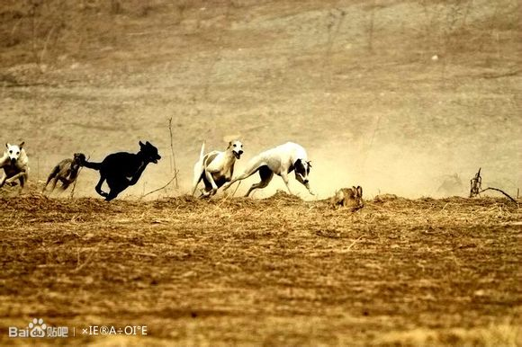 狗撵兔子比赛
