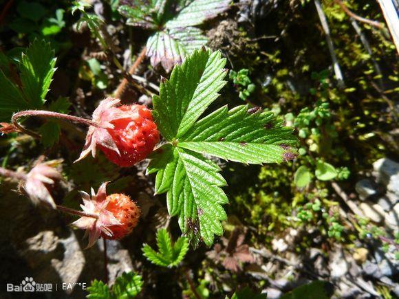 梦见野草莓是什么意思