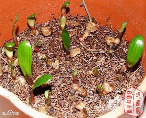 君子兰种子繁殖