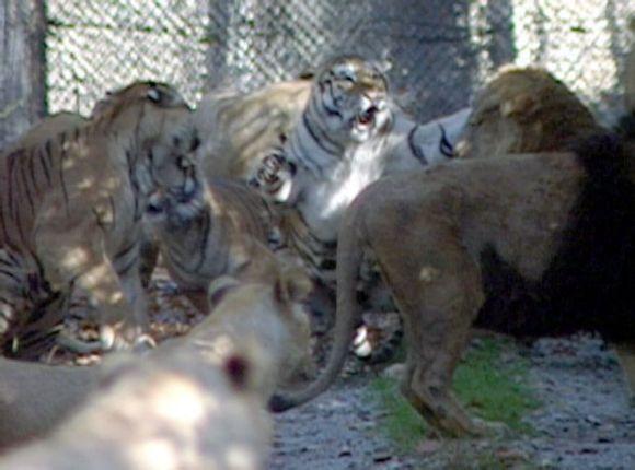 古罗马斗兽老虎斗狮子