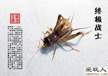 2016爱玩人蟋蟀网