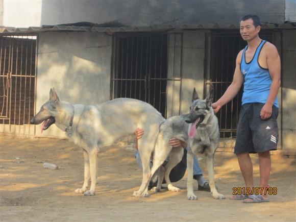 老版狼青犬图片