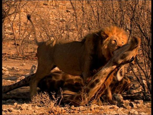 狮子与长颈鹿