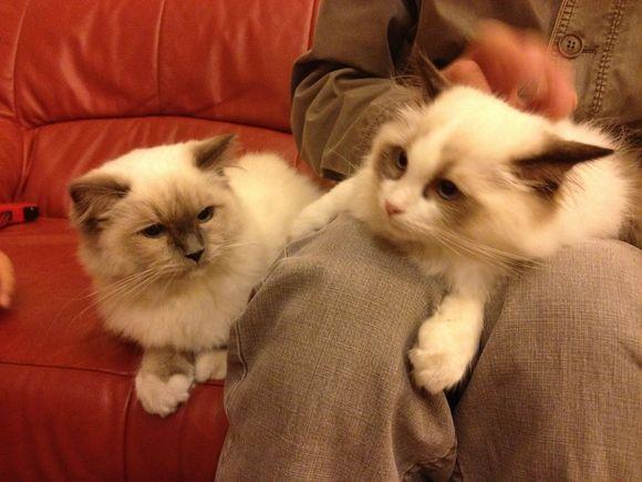 和布偶猫很像的猫
