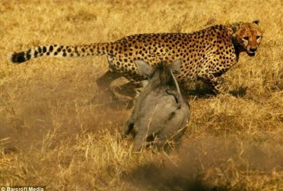 鬣狗吃非洲野狗尸体