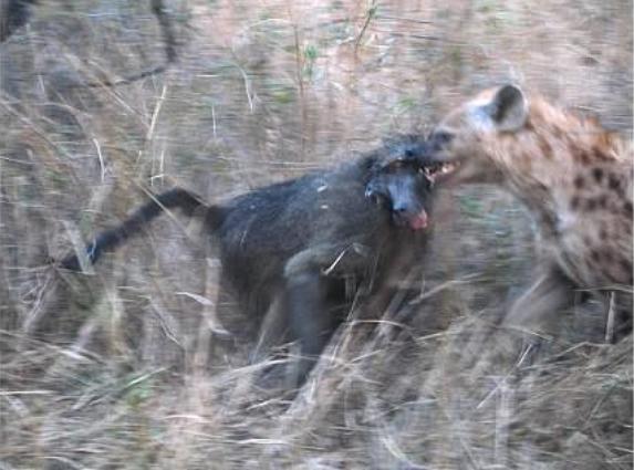 狒狒vs鬣狗