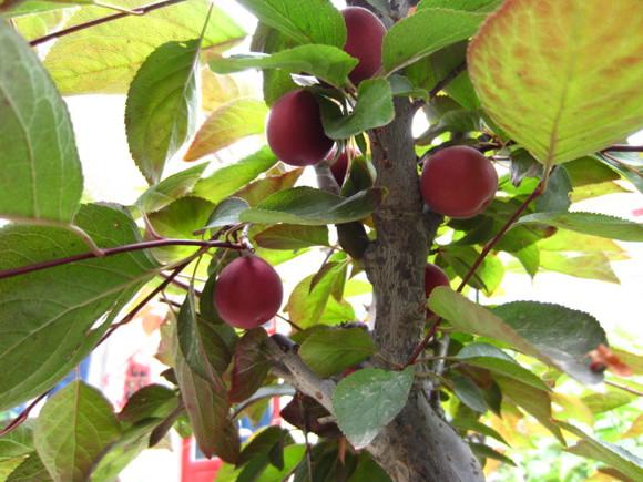 银杏树结的果实叫什么