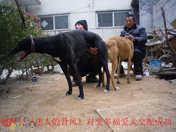人工给牛配种视频