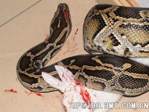 蛇吃美人图片