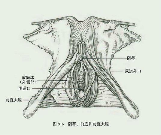 新鲜女性尸体解剖录像