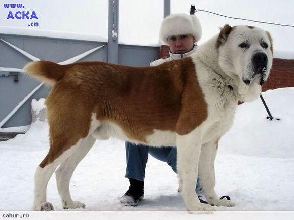 中亚牧羊犬视频