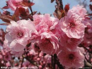 樱花叶菜先锋