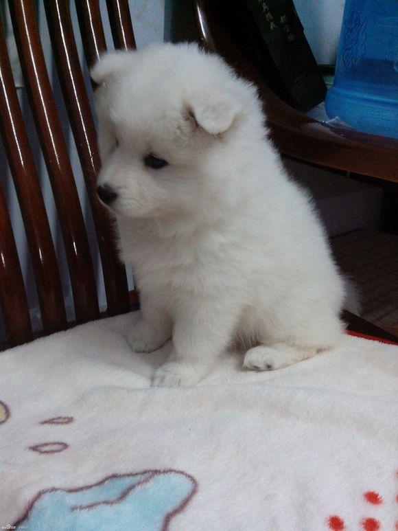 萨姆耶狗价格 图片