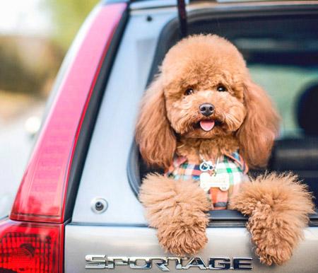 纯种泰迪犬图片