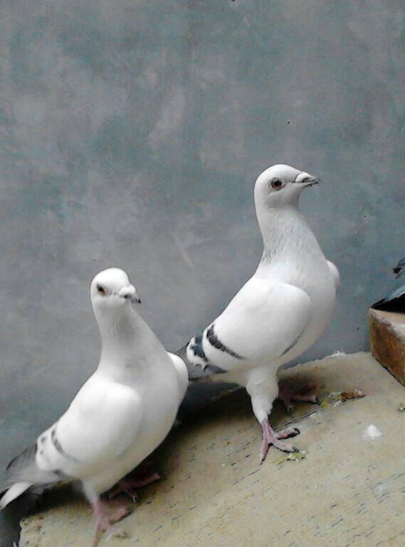 歌词大象鸽壁纸鸟鸽子569_768竖版竖屏手机动物儿歌鼻子的鸟类好长图片