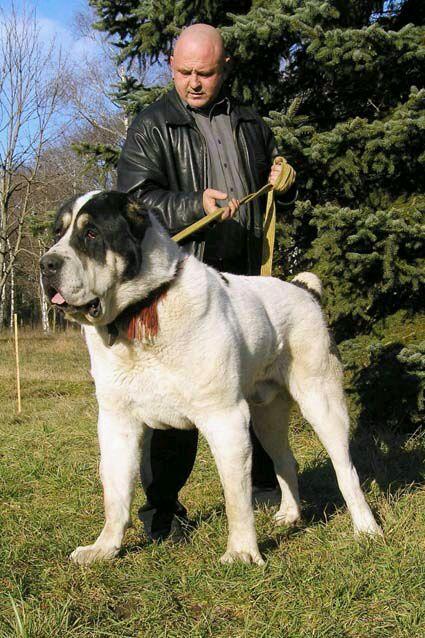 【普及】猛犬之中亚牧羊犬