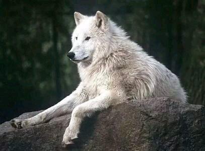 如果你是母狼,你会选择哪条公狼?