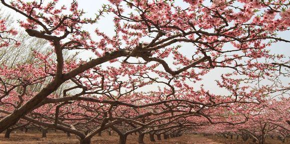 全乡目前有经济林四万余亩,其中桃林面积一万二千余亩,主要覆盖四个大图片