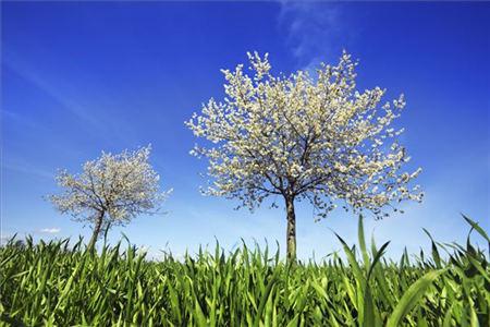 樱桃栽培技术 修剪 树形选择 视频图片