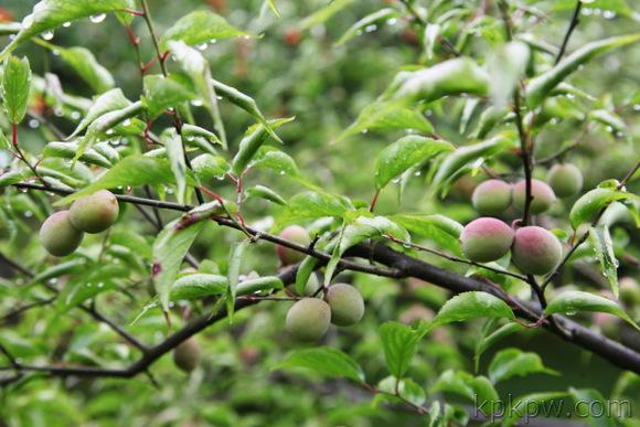 槐树结的果实叫什么