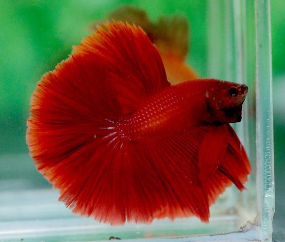关于泰国斗鱼的品种与颜色分类图片