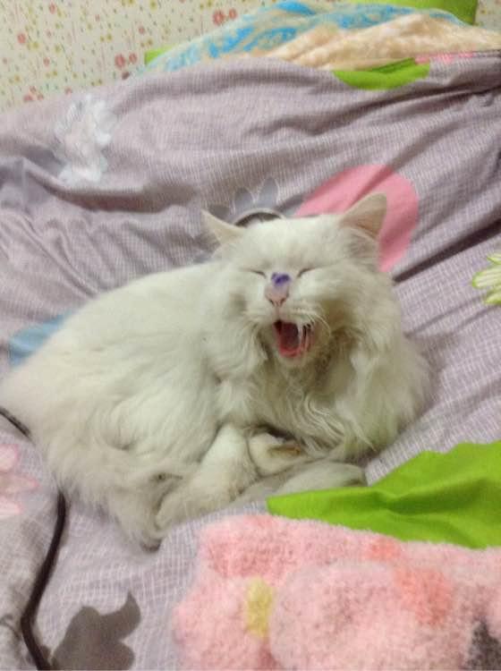 话说我家布鲁昨天跟别家的猫斗了一架,负伤回来了,今天在家休息图片