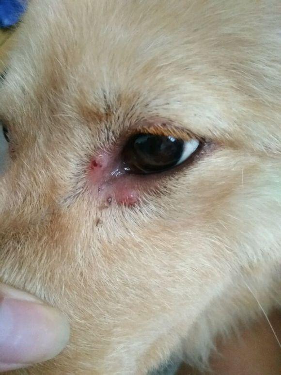 狗狗眼睛上不知道长了什么,请大