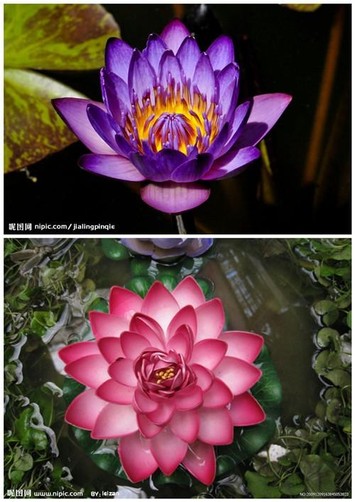 蓝莲花张恒�_【其实蓝莲花不止蓝色,都很多品种和颜色,都美得很~】
