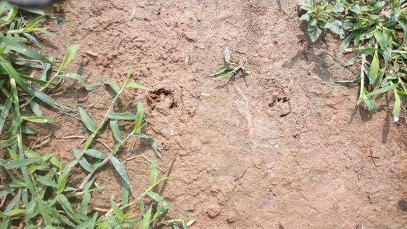 这是兔子脚印吗图片