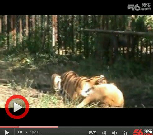 动物世界老虎斗狮子