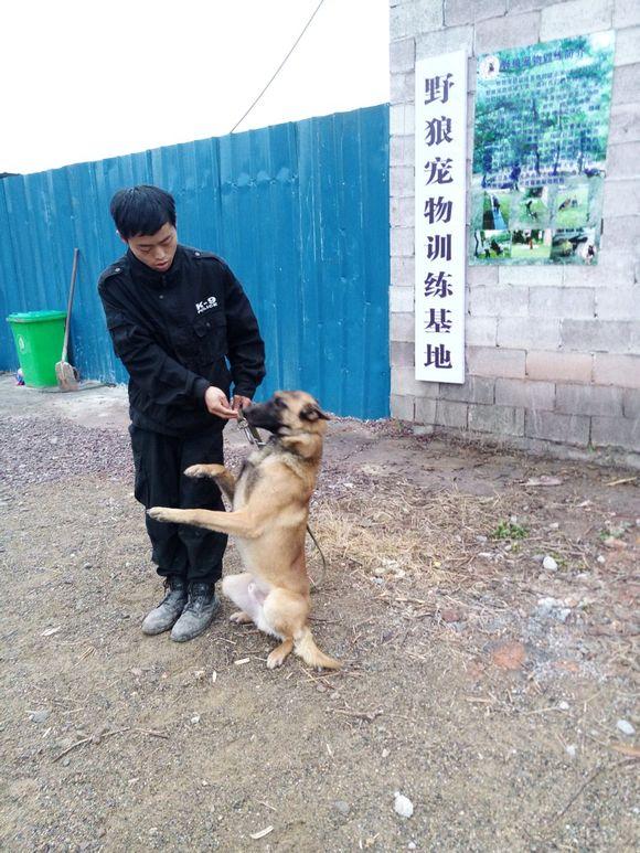 狗狗训练学校 打折啦 野狼宠物训练基地