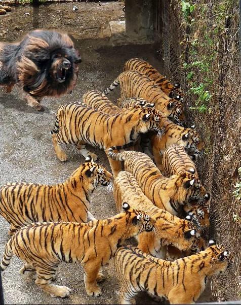 11只虎被藏獒吼得找地缝钻