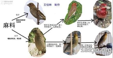 麻料鸟如何区分公母