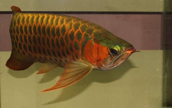 辣椒红龙鱼_【转】辣椒红龙鱼和血红龙鱼的区别