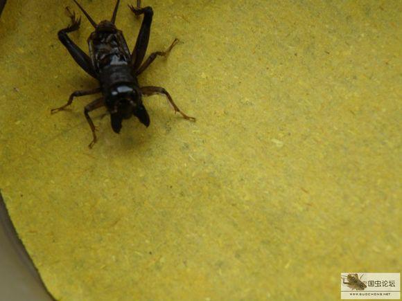 2016年蟋蟀大凶头图片