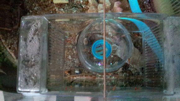 偷懒了,鱼缸内放隔离盒,隔离盒里放孵化器