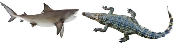 2.1米牛鲨跟3米湾鳄大概是这个比例
